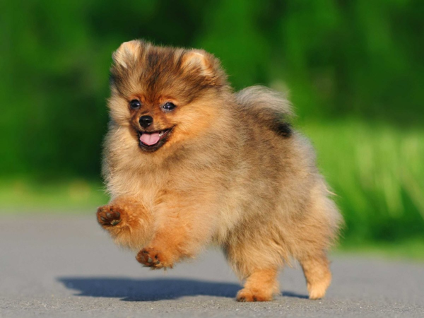 The Dog Breeds That Live The Longest #pomerian #chihuahua #dogs #pet #furryfriend #CotondeTulear #toymanchesterterrier #collie #terrier #spaniel #lacasapoo #shepard #lhasaapsos #shihtzu #LagottoRomagnolo #ratese #ratcha #cockapoo #poodle #jackrusselterrier #newguineasingingdog