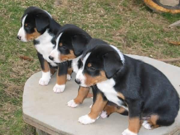 Three Appenzeller Sennenhund Puppies Dieren Honden