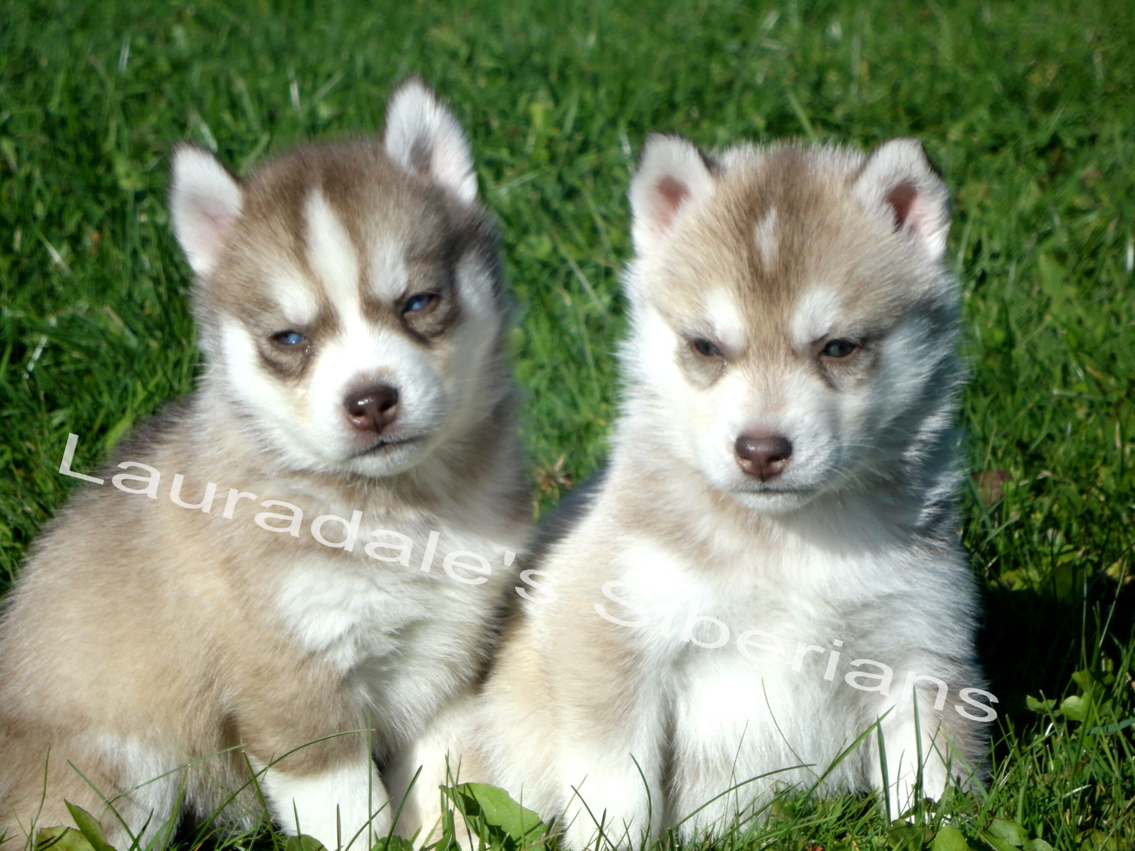 Lauradale's Siberian Husky Puppies For Adoption In