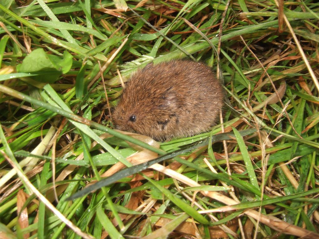 vole control how to get rid of voles how to get the o u0027jays and