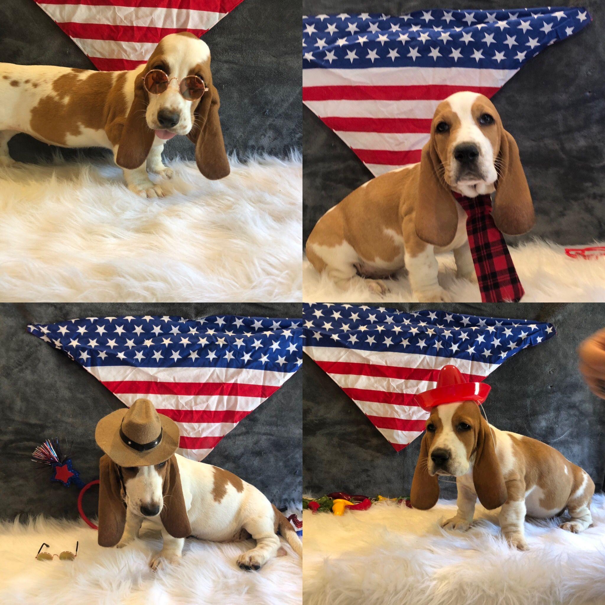 Available Puppies June 2019 Basset Hound Puppy Basset Hound