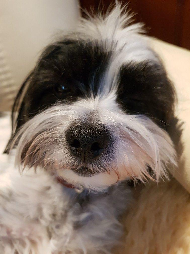 Shih Tzu Mix Graf Bobby Berlin Shihtzu Shih Tzu Shih Tzu Puppy