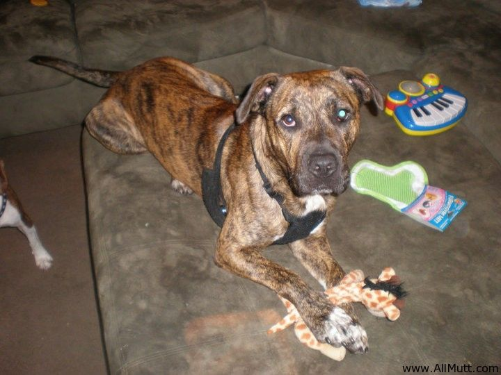 Presa Canario American Staffordshire Terrier Mix Staffordshire