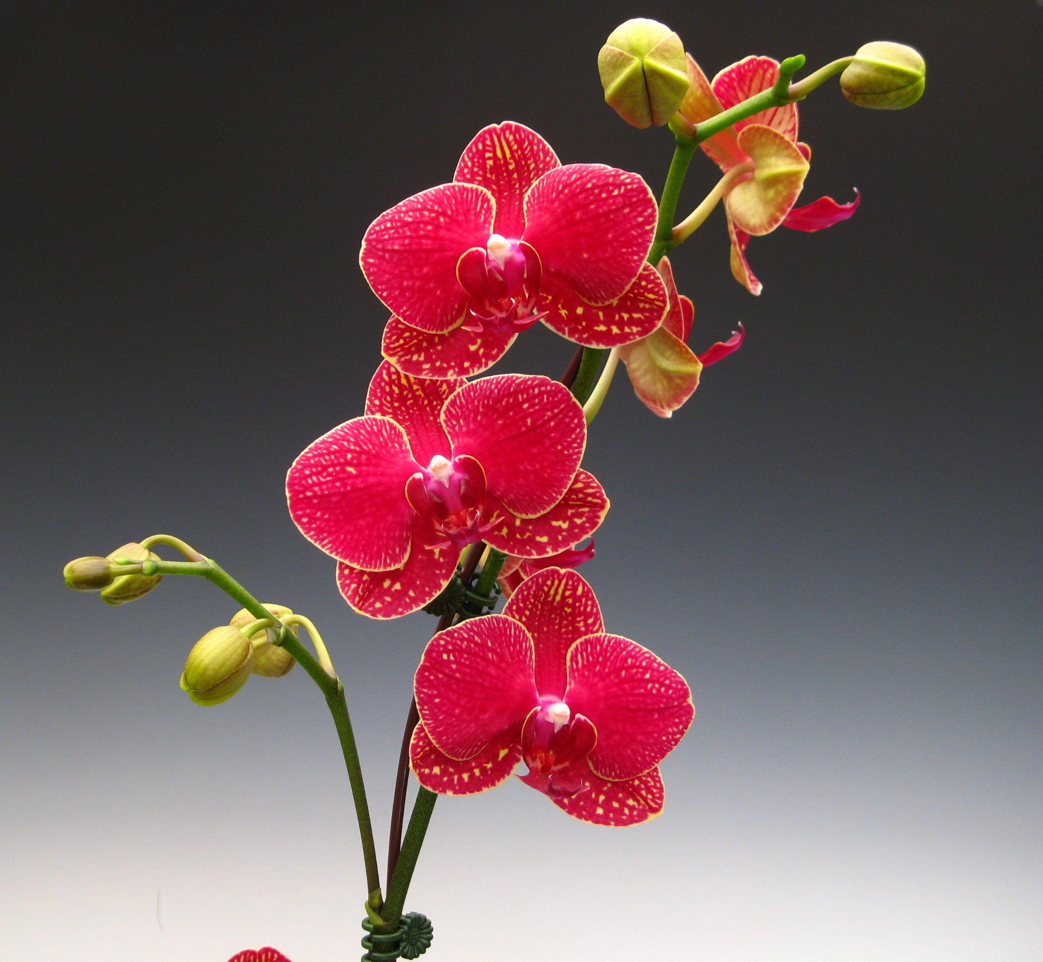 """Doritaenopsis Taida Salu """"Alisan"""" The red orchid A phalaenopsis"""