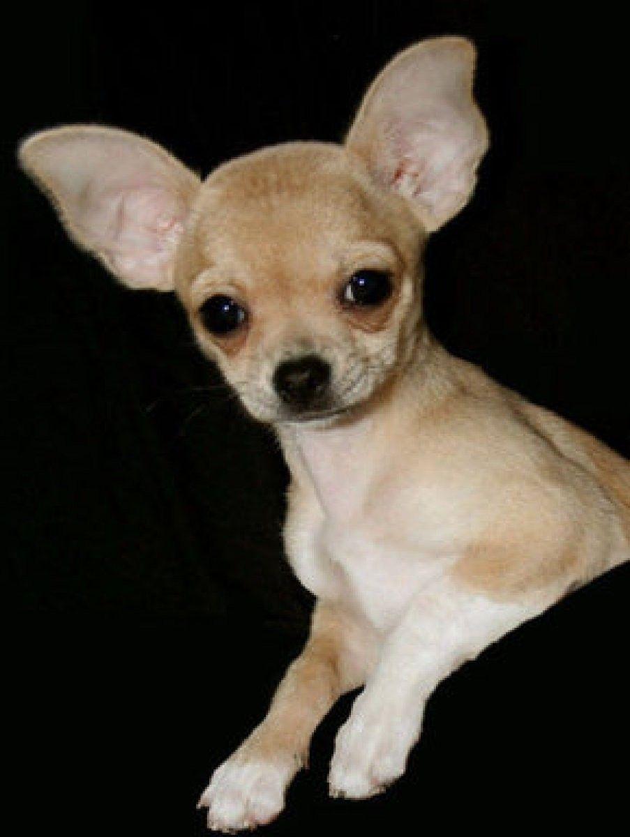 Por Que Tiemblan Los Perros Puppies Near Me Pug Puppies