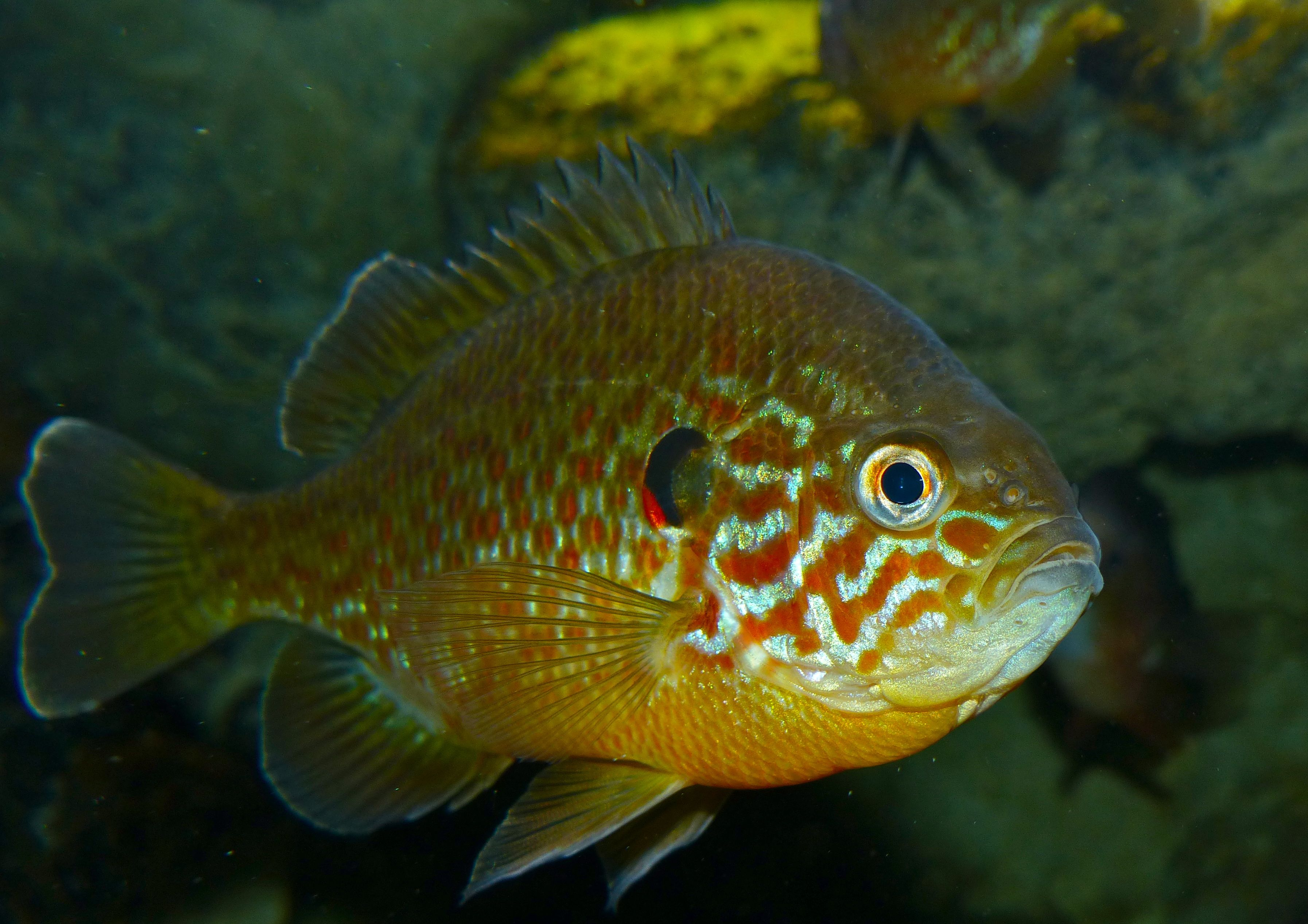 The pumpkinseed (Lepomis gibbosus) is a North American