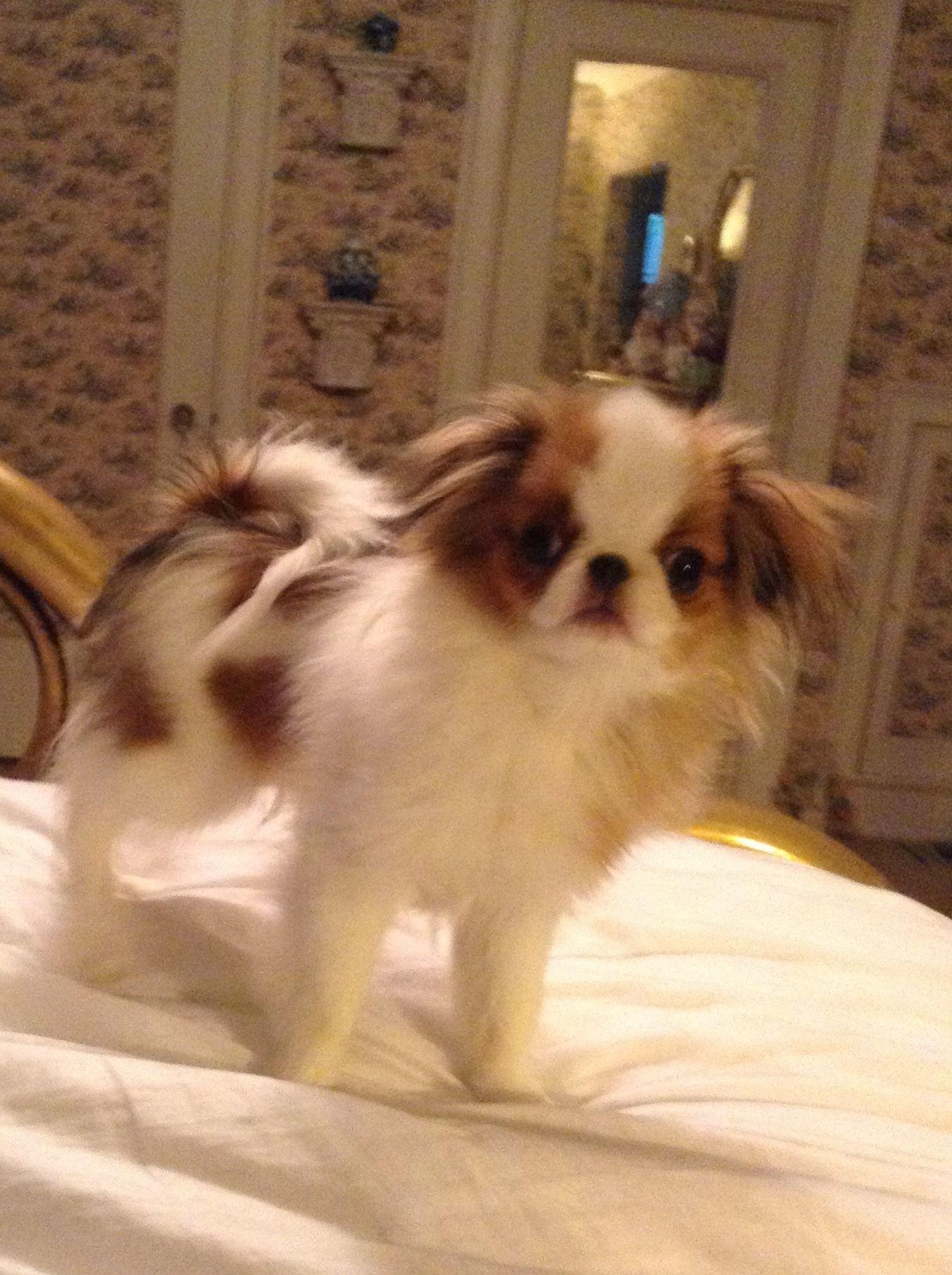 Ruby Foo Japanese Chin Dog Chihuahua Puppies Japanese Chin