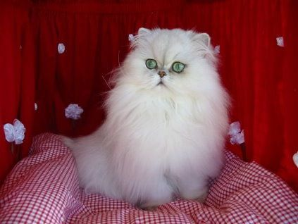 Elmo My Silver Shaded Chinchilla Persian Cat Chinchilla Persian Pet Cat Persiancat Silvershaded Cat In Heat Cat Neutering Cat Spray