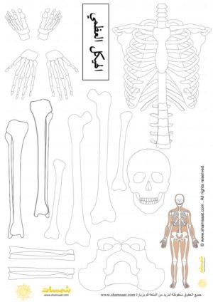الهيكل العظمي تلوين علوم للاطفال Biology Projects Image Projects