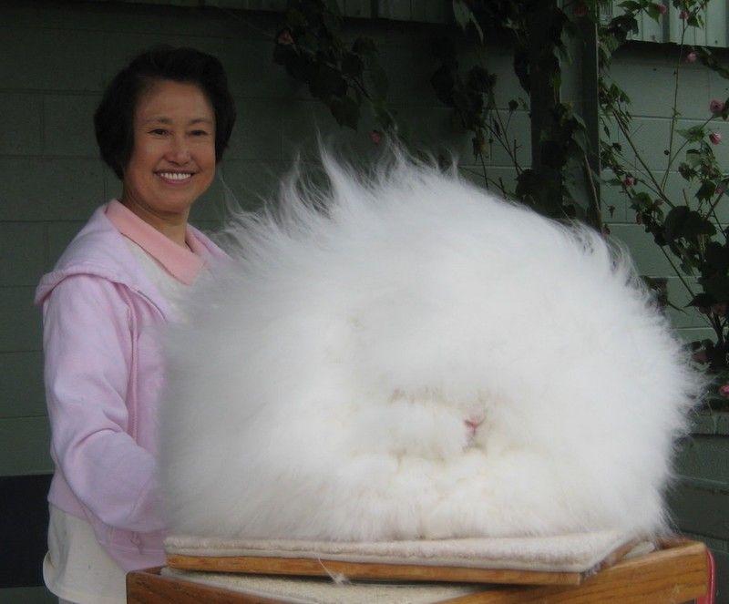 giant angora the giant angora rabbit can be more than 12 pounds when