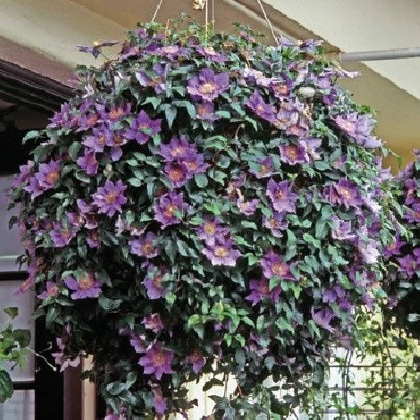 Three Great Compact Clematis Varieties Specially Developed
