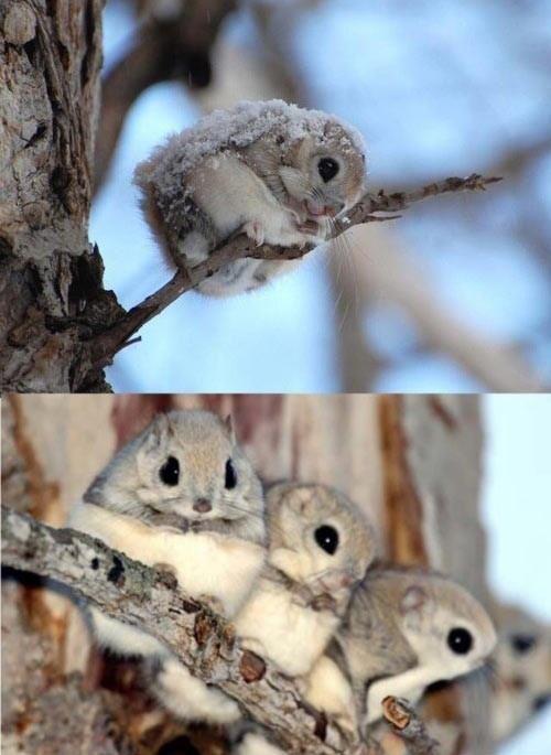 Japanese dwarf flying squirrels!! Cuuuuties!