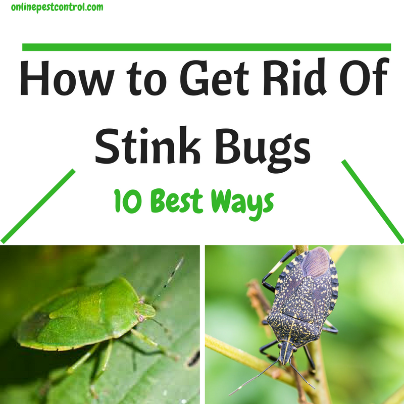 Well reputed for their odor, stink bugs often seek warmth