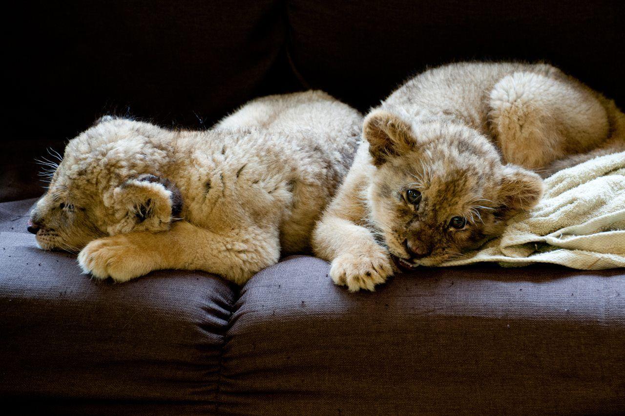 ライオンの赤ちゃん@富士サファリパーク