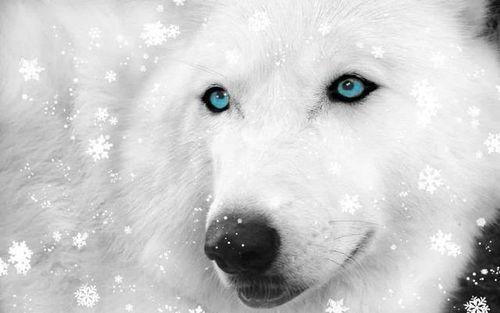 beautiful blue white wolf - photo #40