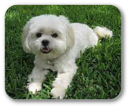 Maltese Can Be Great Apartment Or Condo Dogs They Love Just