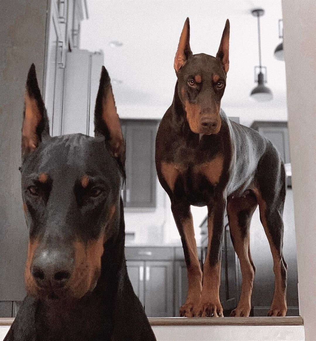 Pin on Dobermann