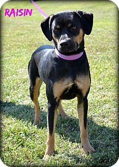 Cincinnati Oh Rottweiler Beagle Mix Meet Raisin A Dog For Adoption Dog Adoption Dogs Rottweiler