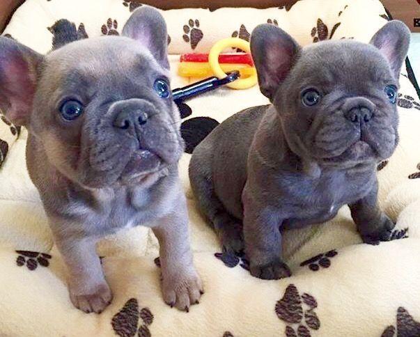 Eggy Chorizo Blue French Bulldog Puppies Buldog Bulldogs