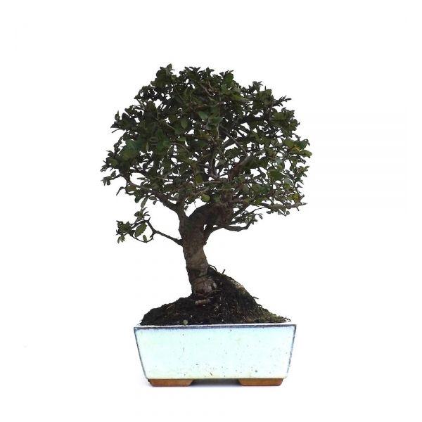acheter un bonsa orme de chine 25 cm orm140908 sankaly bonsa sp cialiste du bonsai en ligne. Black Bedroom Furniture Sets. Home Design Ideas