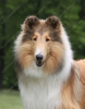 Pin By Cindy Allaby On Collie Dogs Rough Collie Collie Puppies