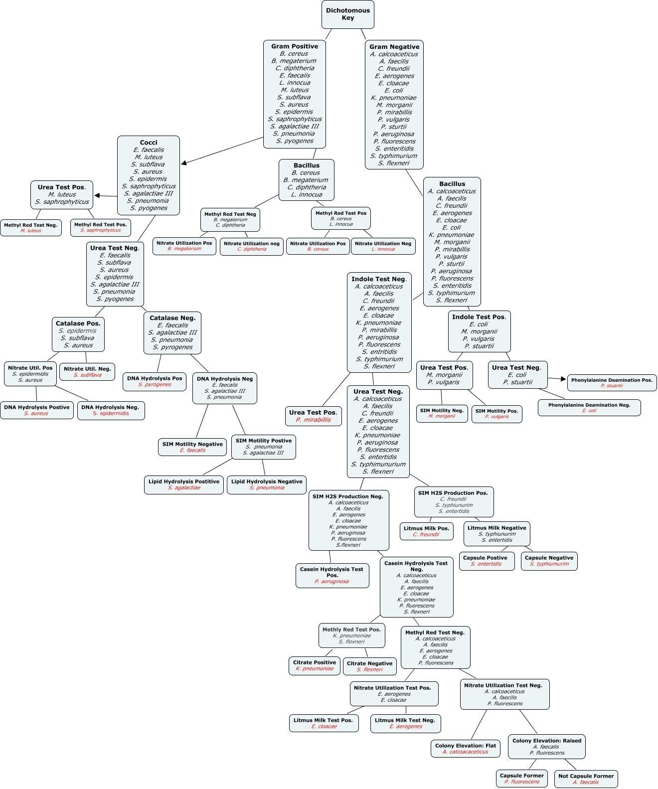 Bacteria Dichotomous Key Worksheet Dichotomous Key Jgoo in