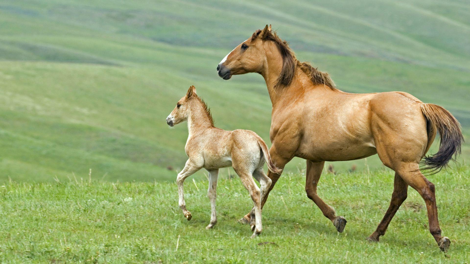 Обои лошадь, жеребёнок. Животные foto 8