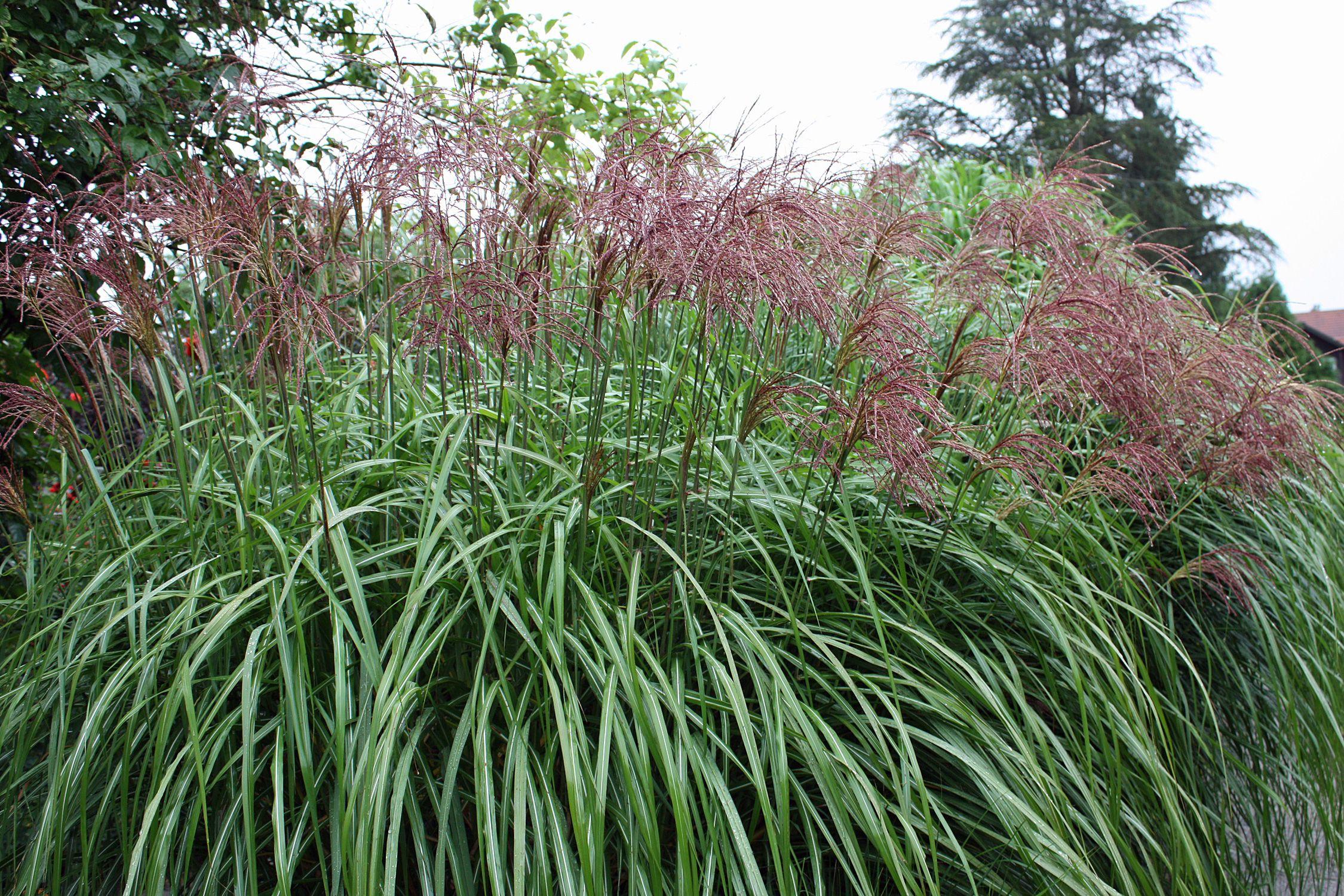 Ziergraser Sind Robuste Und Pflegeleichte Gartenpflanzen Gerade Wegen Ihrer Anmutenden Leicht Winterharte Graser Garten Graser Fur Den Garten Graser Im Garten