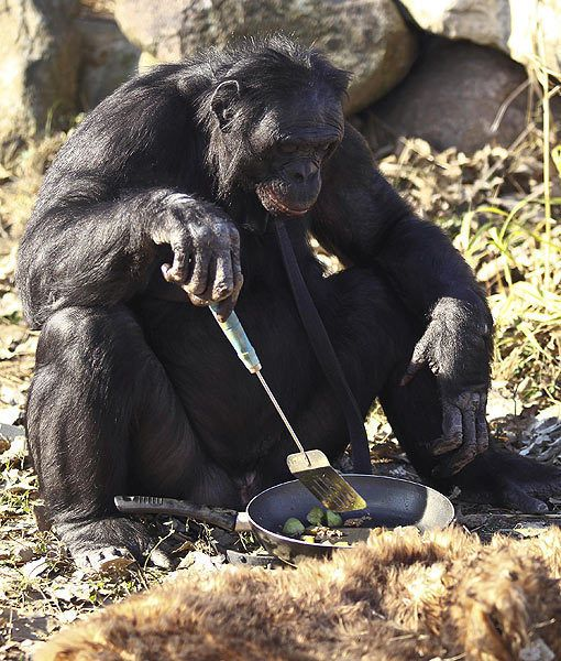 Kanzi the bonobo from the Great Ape Trust in Des Moines, Iowa has discovered how to create tools in order to obtain food. This 31-year-old primate is considered one of the most advanced animals alive, having already shown an understanding of  human language and communication.