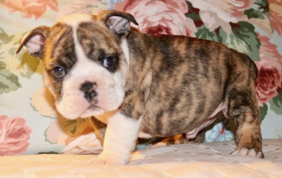 Rocket Is A Brindle Male English Bulldog Puppy With Champion Lines