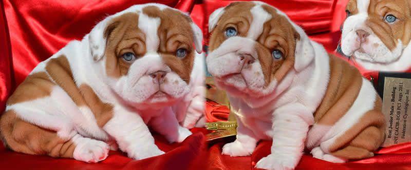 Blue Eyes Chocolate English Bulldog Puppies English Bulldog