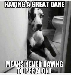 12 Best Great Dane Memes Of All Time Dane Dog Great Dane Dogs