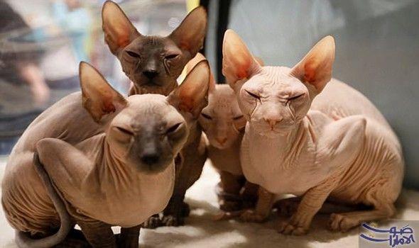 قطط بيتربالد المتسلقة على الطاولة تخطف الأنظار نجحت مجموعة من القطط الصلعاء المجعدة في جذب الأنظار في معرض إقليمي للقطط في Cats Cats And Kittens I Love Cats