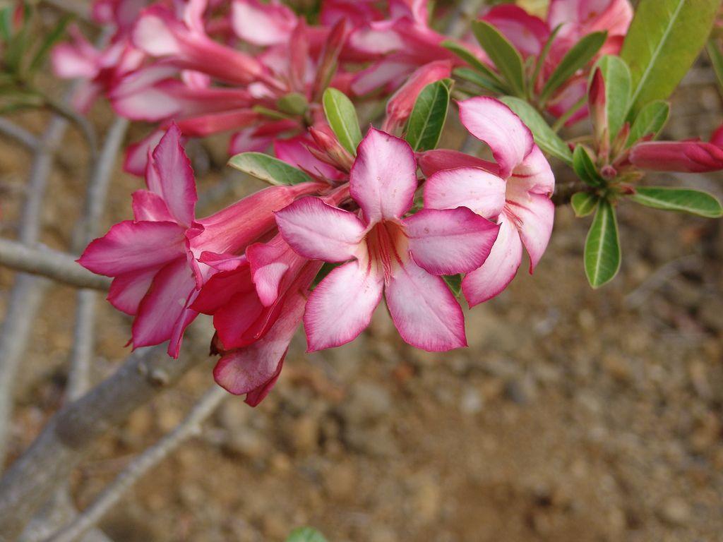 Ficha completa de rosa del desierto