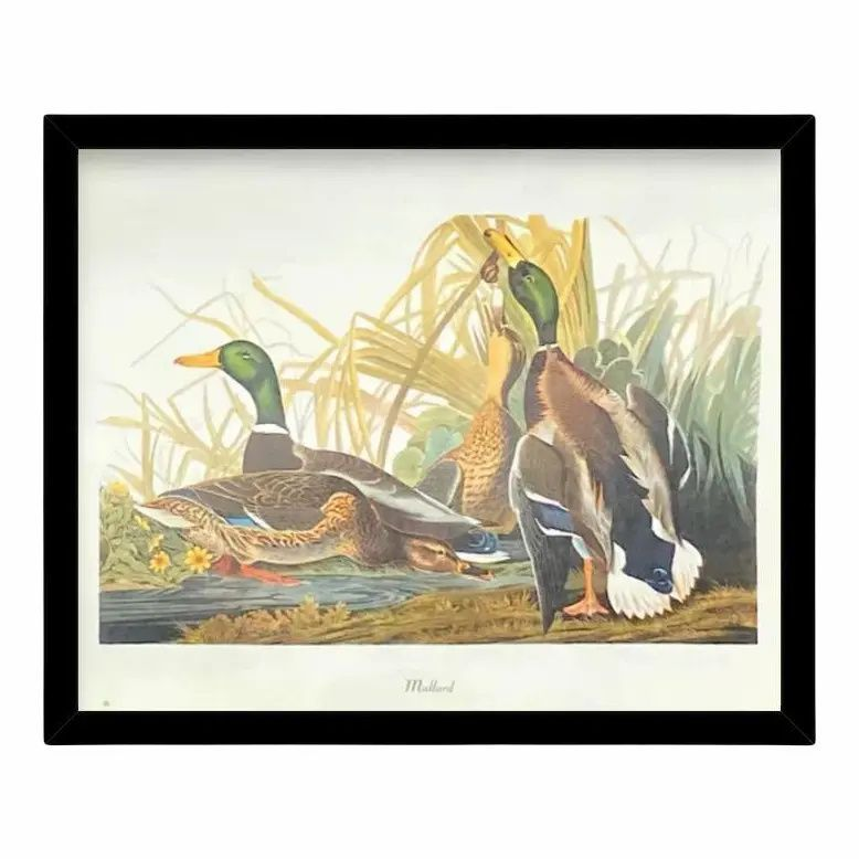Custom Black Wood Frame of Authentic Vintage John James Audubon Mallard Duck Bird & Botanical Print