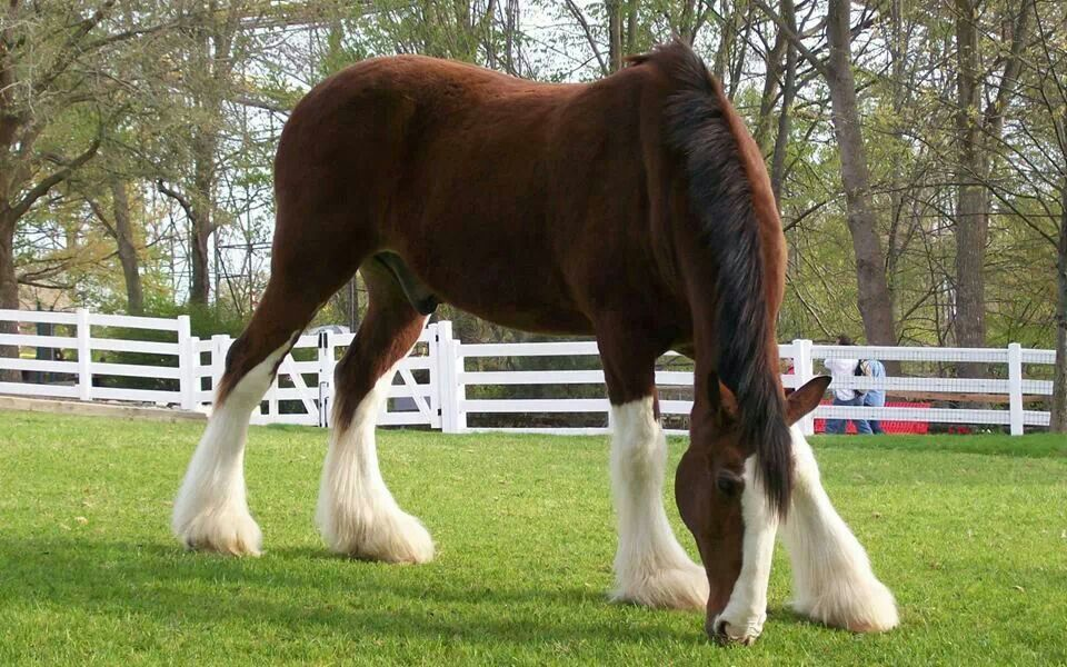 Stunning Clydesdale