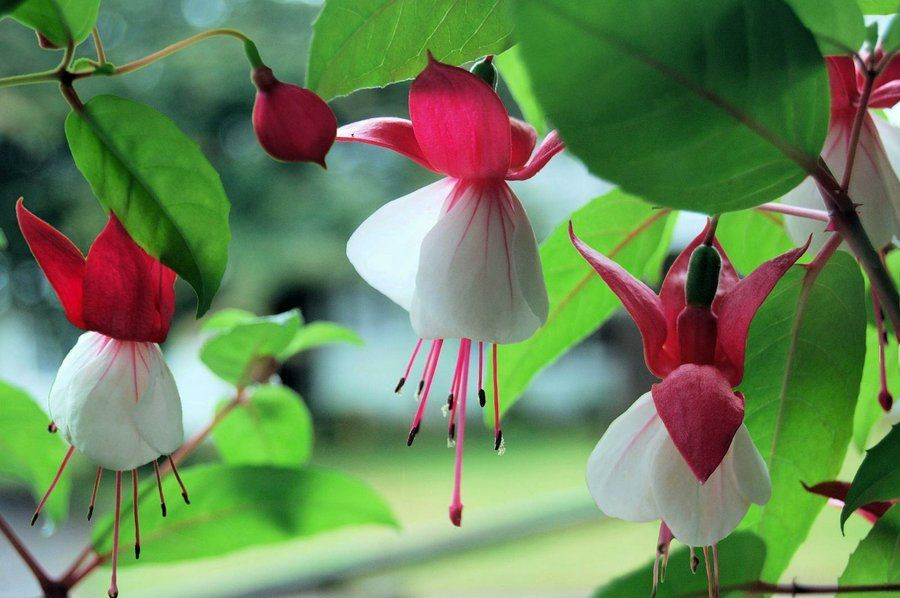 Fucsia existen pocas flores tan bonitas y ex ticas como - Lista nombre arbustos ...