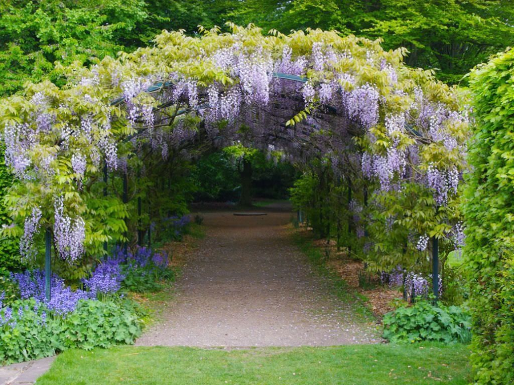 How To Grow And Care For Wisteria World Of Flowering Plants Modern Design In 2020 Garden Paths Garden Planning Wisteria Trellis