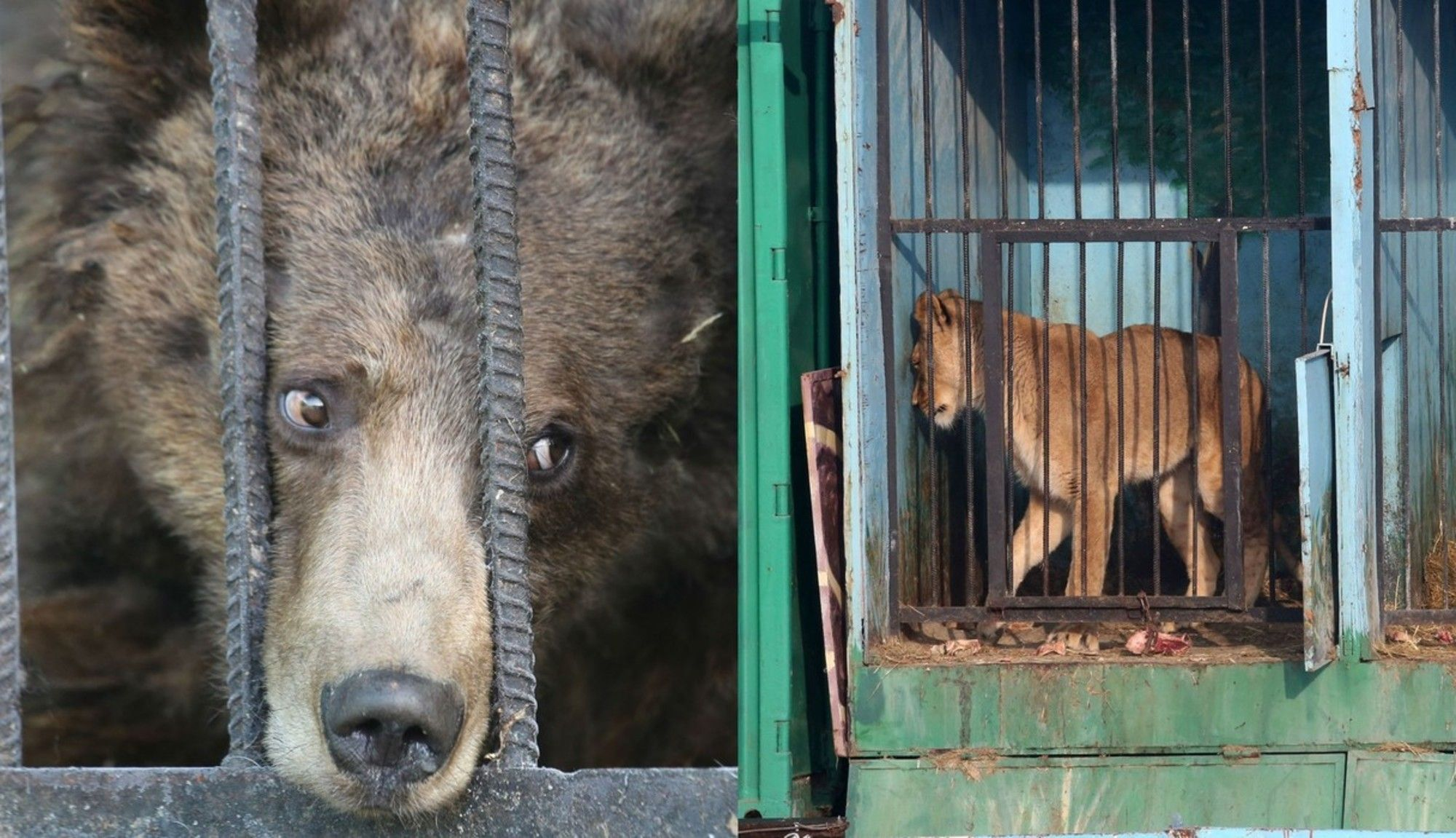 Animals Left To Die At Abandoned Zoo Are Losing Their