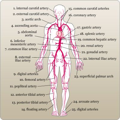 Labeled diagram of the major arteries in the human body