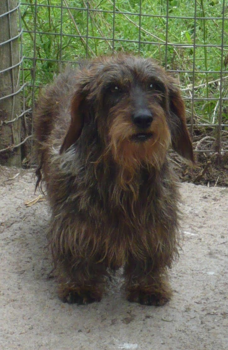 Image Result For Long Haired Black Basset Hound Wire Haired
