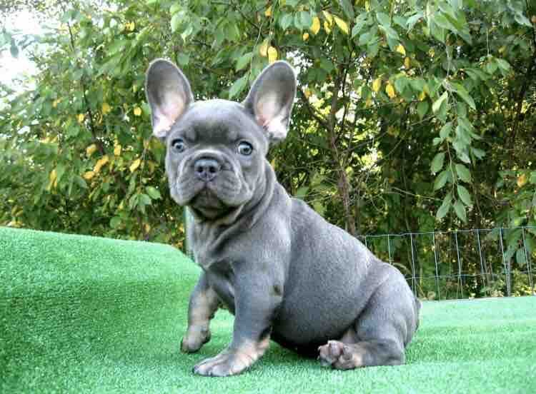 Luna Female Puppy French Bulldogs For Sale In Brooklyn New York Frenchbulldog Frenchbulldog French Bulldog English Bulldog Puppies French Bulldog For Sale