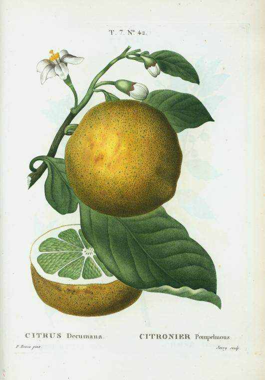 Citrus decumana = Citronier pompelmous (Grape fruit, Pummelo) 1801-1819.