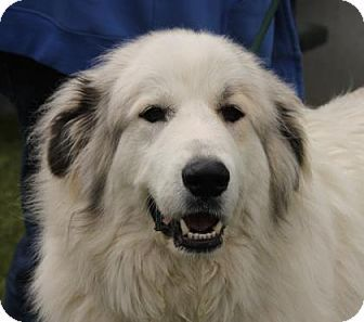 5 17 17 Wichita Ks Great Pyrenees Mix Meet Ginger A