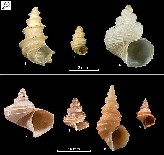 Family Capulidae 1. Icunculus torcularis 2. Icunculus zodiacus 3. Separatista helicoides 4. Sirius badius 5. Sirius cupiens 6. Sirius idoneus 7. Turritropis turrita