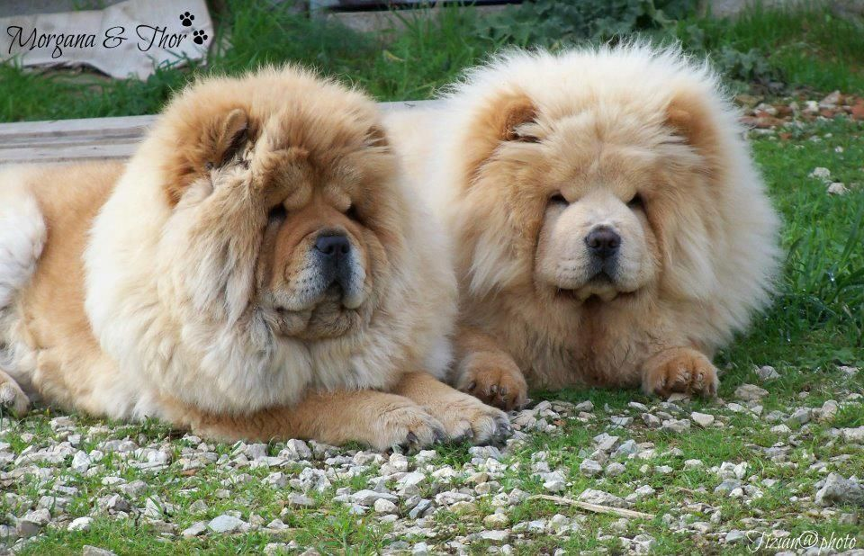 Couple Chow Chow Dog Puppy Chow Chow Dogs Chow Chow