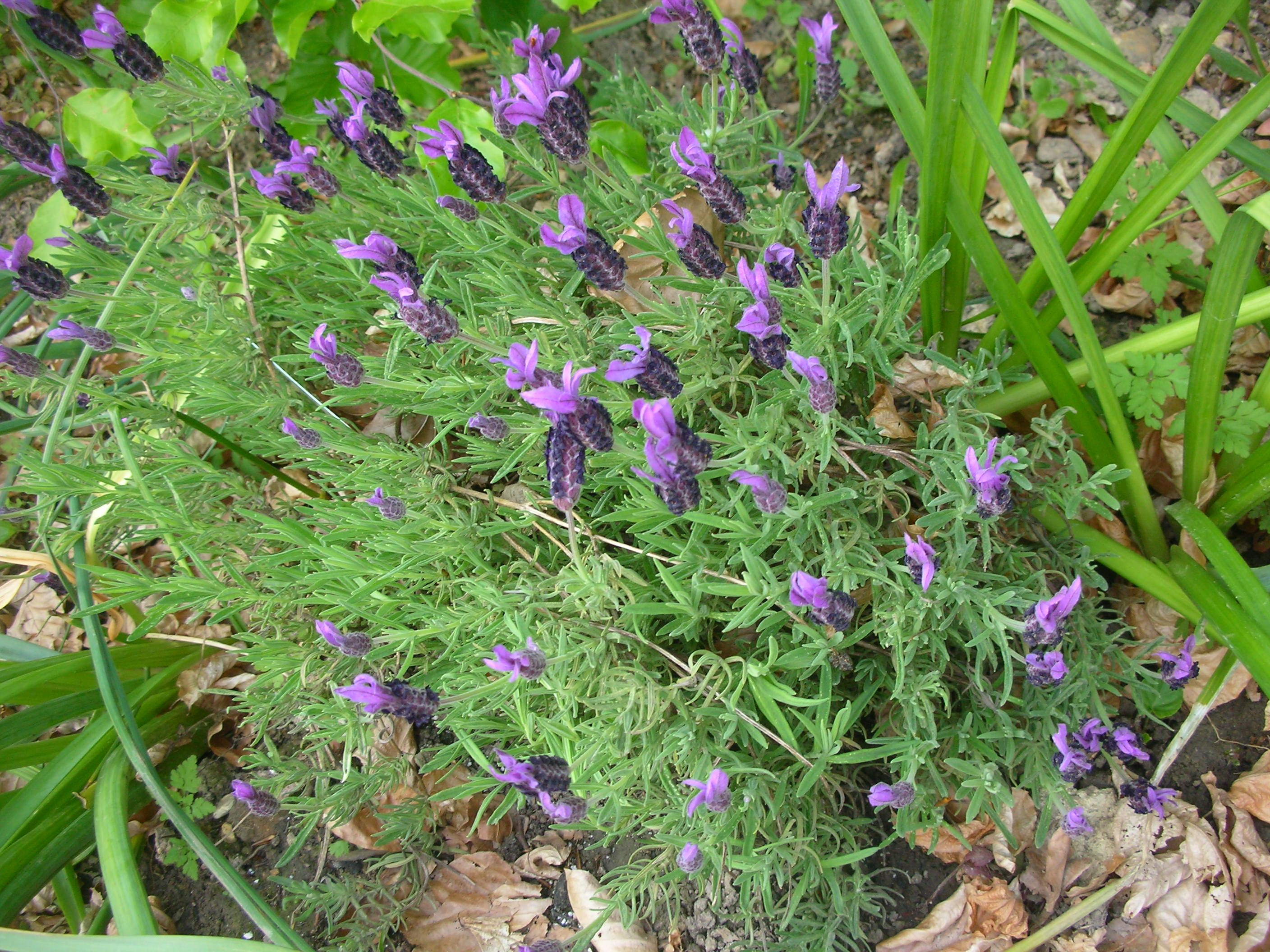 Flowers that like sun and moist soil - French Lavender That I Planted Last Year They Need Sun And Not