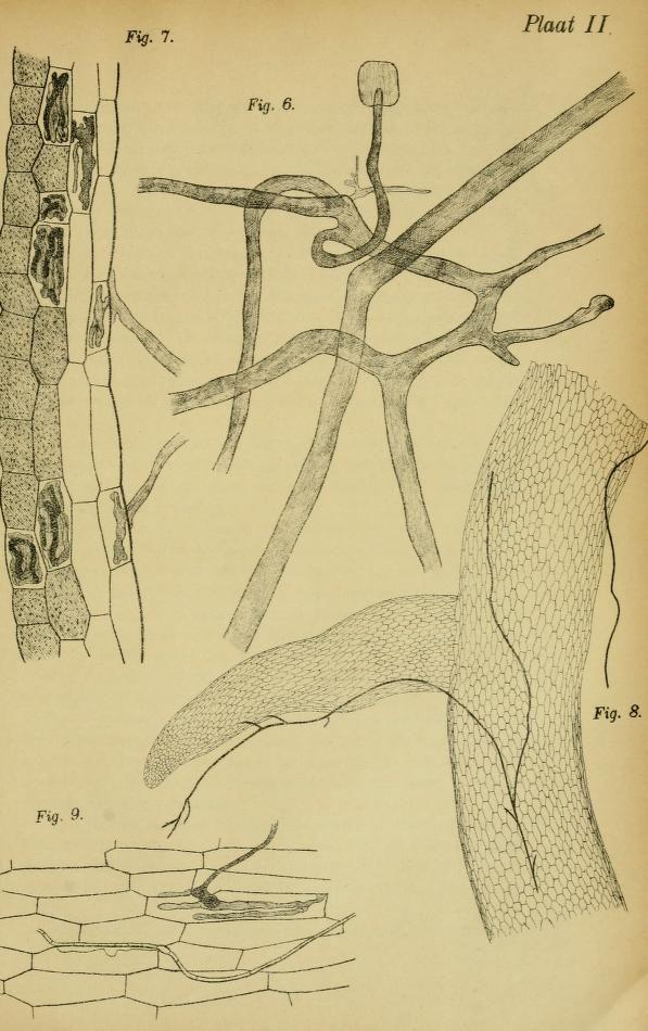 Verslag van het wortelrot onderzoek. - Biodiversity Heritage Library