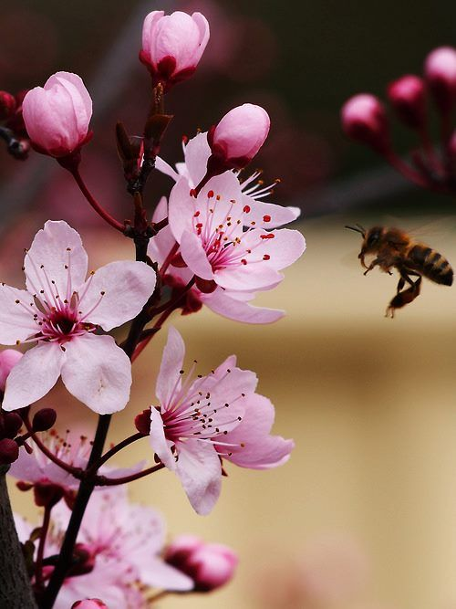 Pin By Nataliya On Photography Cherry Blossom Wallpaper Flowers Photography Trendy Flowers