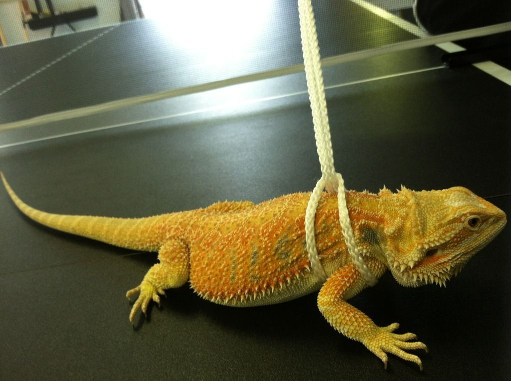diy bearded dragon harness - Google Search More #beardeddragonfunny